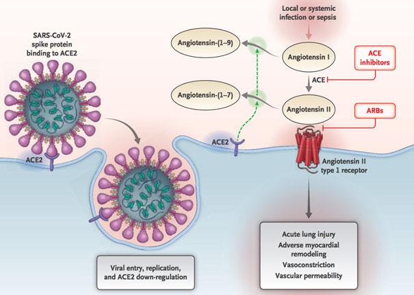renine-angiotensine-aldosterone